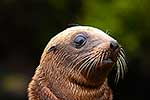 Cute NZ Sea lion pup