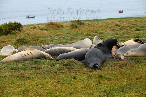 New Zealand Sea lion bull and female harem. One marked with brand for population studies (Phocartos hookeri). Hooker's Sea lion. Enderby Island, Auckland Islands, NZ Sub Antarctic District, NZ Sub Antarctic Region, New Zealand (NZ) stock photo.