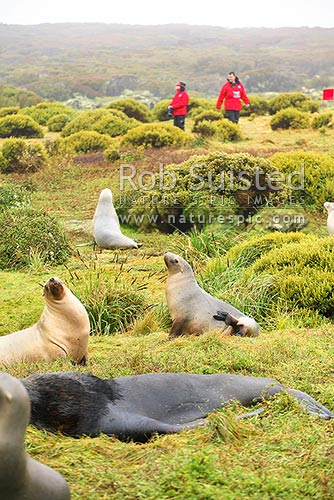Tourist visitors to Enderby Island passing a New Zealand Sea lions (Phocartos hookeri), Auckland Islands, NZ Sub Antarctic District, NZ Sub Antarctic Region, New Zealand (NZ) stock photo.