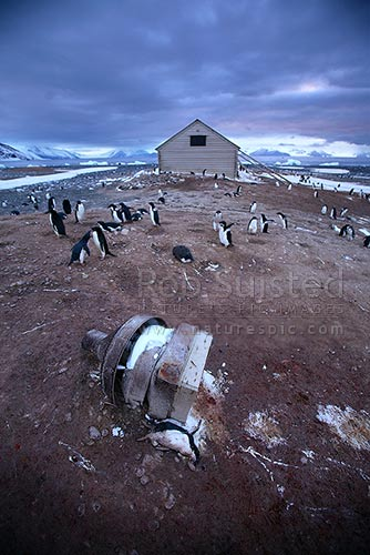 Adelie penguins (Pygoscelis adeliae) and Borchgrevink's 1899 Southern Cross Expedition huts, Ridley Beach. Robertson Bay. Northern Party hut chimney foreground, Cape Adare, Ross Sea, Antarctica Region, Antarctica stock photo.