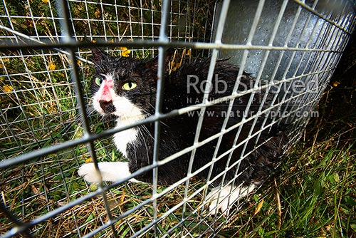 Wild Cat (Felis Canis) caught in cage trap. Feral Cat in trap. Pest cat. Pest Control, Wellington, Wellington City District, Wellington Region, New Zealand (NZ) stock photo.