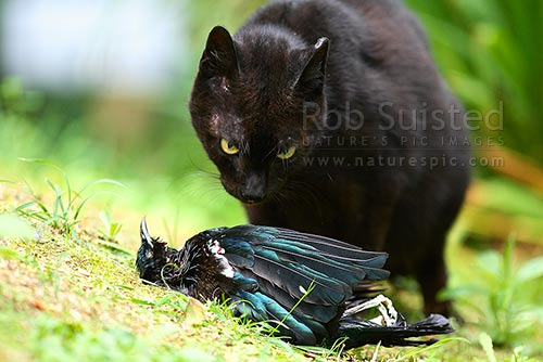 Wild cat (Felis canis) eating native bird Tui Bird (Prosthemadera novaeseelandiae). Feral Cat, Pest cat, New Zealand (NZ) stock photo.