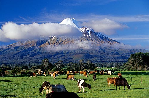 New Zealand Dairy Cow