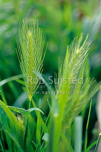 Barley Grass Hordeum Murinum Pasture Pest Plant Wheat