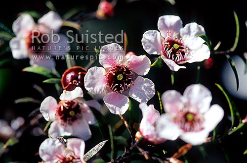 Manuka flowers (Leptospermum scoparium), New Zealand (NZ) stock photo.