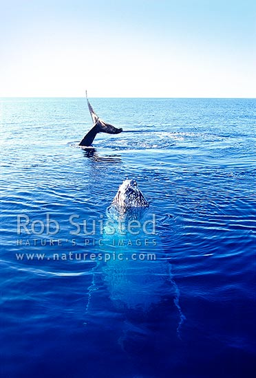 Two humpback whales breaking surface of sea. Tail waving and spy-hopping (Megaptera novaeangliae), Hervey Bay, Australia, Australia stock photo.