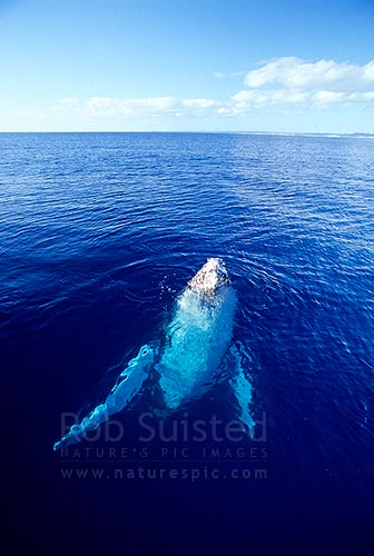 Humpback whale surfacing (Megaptera novaeangliae), Hervey Bay, Australia, Australia stock photo.