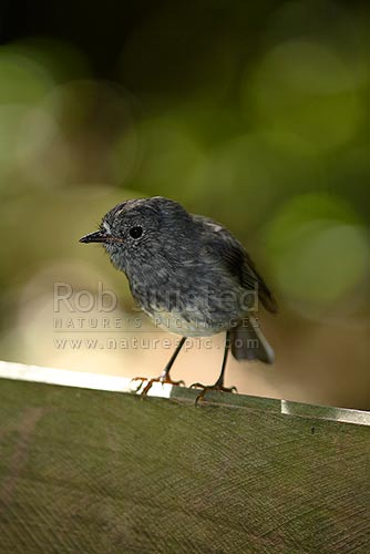 North Island Robin (Petroica australis longipes) on track sign, New Zealand (NZ) stock photo.