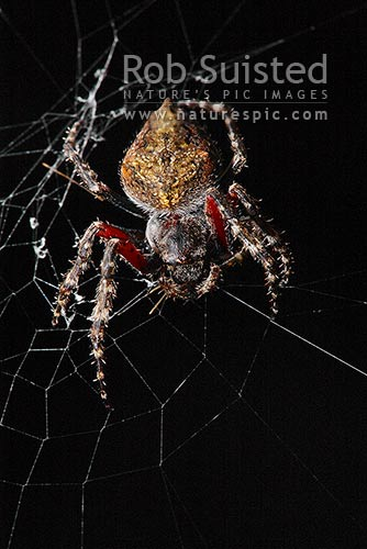Orbweb Spider Wrapping Prey In Silk Likely Eriophora Pustuosa