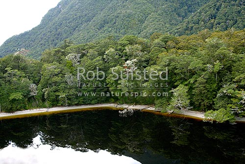 Reflection of beech forest (Nothofagus sp.) in the tannin stained waters of Lake Virginia, Lake Manapouri, Fiordland National Park, Fiordland, Southland District, Southland Region, New Zealand (NZ) stock photo.