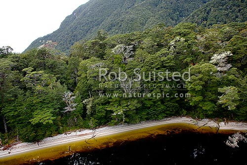 Beech forest (Nothofagus sp.) above the tannin stained waters of Lake Virginia, Lake Manapouri, Fiordland National Park, Fiordland, Southland District, Southland Region, New Zealand (NZ) stock photo.