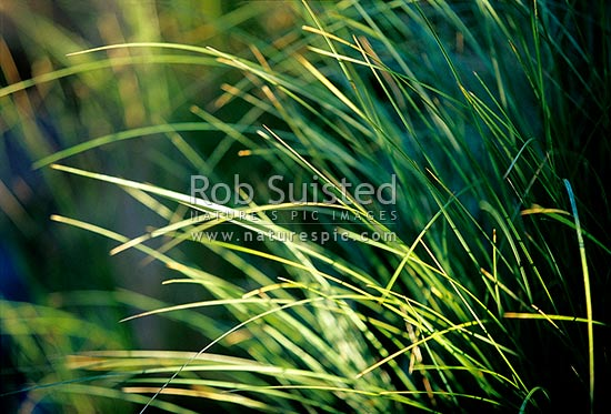 Morning light on Tussock leaves (Poa sp.), New Zealand (NZ) stock photo.
