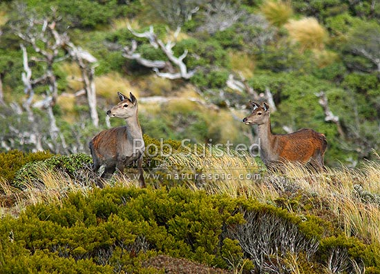 Wild Red Deer hinds (Cervus elaphus) in tussock, alpine zone, Ruahine Forest Park, Ruahine Forest Park, New Zealand (NZ) stock photo.