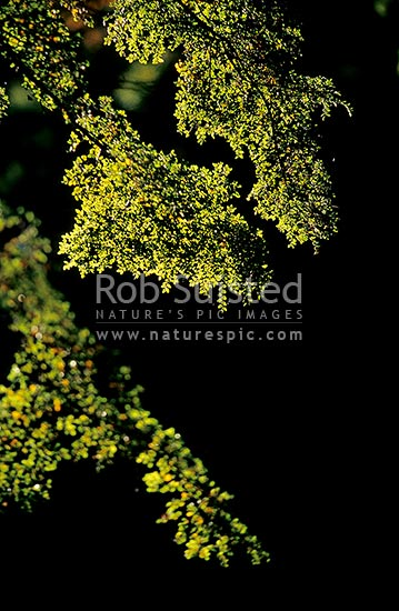 Sunlit beech tree branches (Nothofagus sp.), Fiordland National Park, New Zealand (NZ) stock photo.