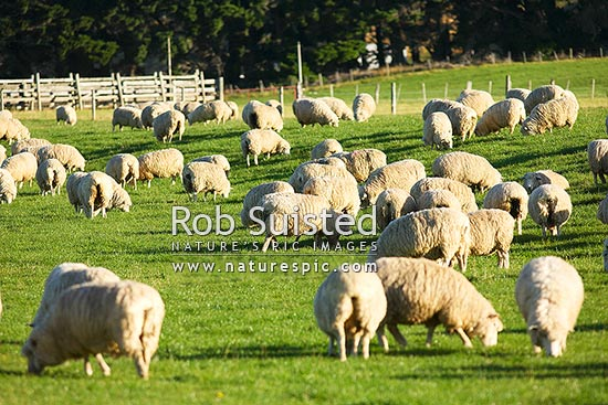 Sheep grazing in paddock or field, Te Anau, Southland District, Southland Region, New Zealand (NZ) stock photo.