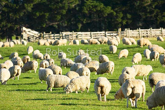 Sheep grazing in paddock or field. (Ovis aries), Te Anau, Southland District, Southland Region, New Zealand (NZ) stock photo.