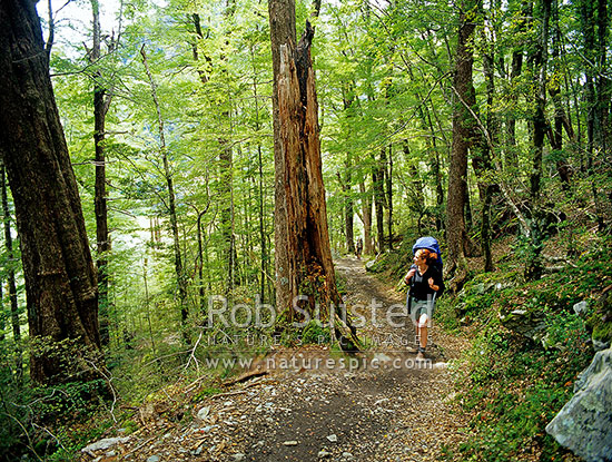 Tramper walking through beech forest (Nothofagus sp.) on the Routeburn Track Great Walk, above Routeburn Flats. Hiking hiker, Mount Aspiring National Park, Queenstown Lakes District, Otago Region, New Zealand (NZ) stock photo.