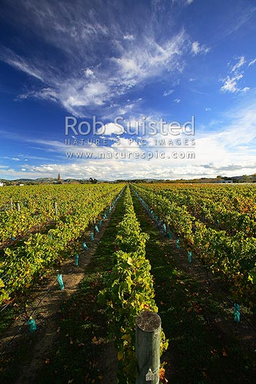Grapevines at Fairmont Estate Winery and vineyard, Gladstone, Wairarapa, Gladestone, Carterton District, Wellington Region, New Zealand (NZ) stock photo.