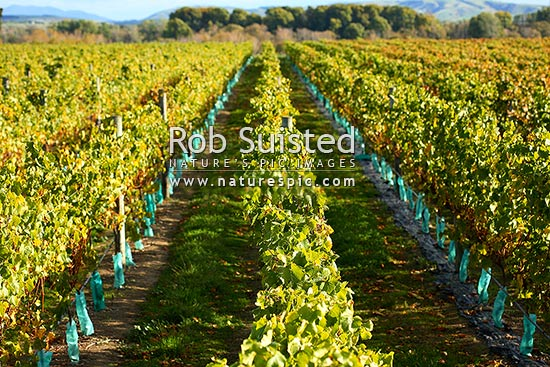 Grapevines and vineyard at Gladstone, Wairarapa, Gladestone, Carterton District, Wellington Region, New Zealand (NZ) stock photo.