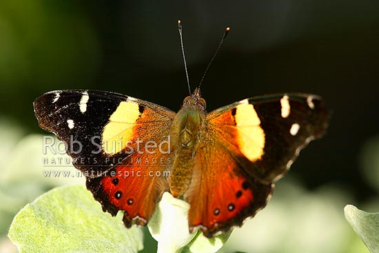 Native NZ Yellow Admiral butterfly (Vanessa itea) sunning on leaf, New Zealand (NZ) stock photo.
