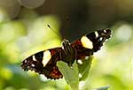 Native NZ Yellow Admiral butterfly