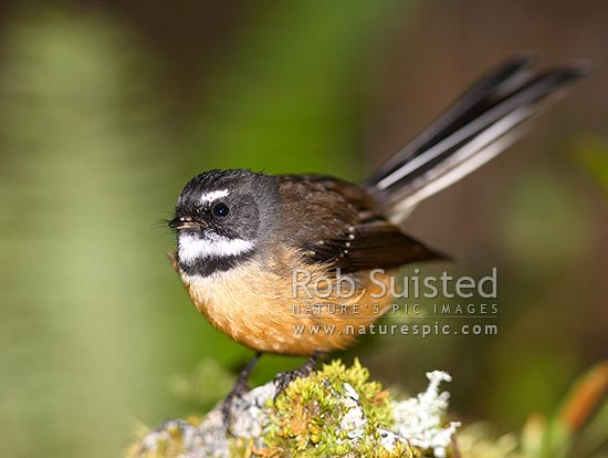 Native Fantail (Rhipidura fuliginosa), or Piwakawaka, Fiordland National Park, New Zealand (NZ) stock photo.