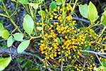 NZ native green mistletoe