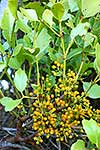 NZ green mistletoe