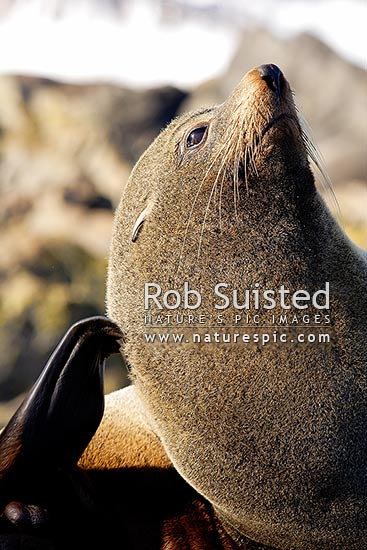 New Zealand Fur seal using hind flipper to scratch (Arctocephalus forsteri, Otariidae), Cape Palliser, New Zealand (NZ) stock photo.