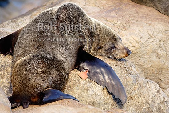 Tagged New Zealand Fur seal (Arctocephalus forsteri, Otariidae) for population studies or research, Cape Palliser, New Zealand (NZ) stock photo.