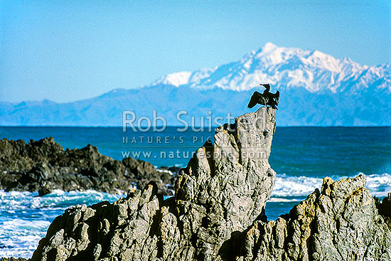Shag sitting on rock; snow covered Kaikouras in background, Wellington, Wellington City District, Wellington Region, New Zealand (NZ) stock photo.