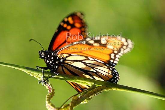 Monarch Butterfly (Danaus Plexippus) Resting On A Stalk Of