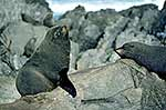 Pair of fur seals on the rocks