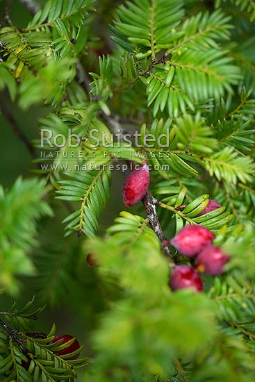 Miro tree branch, leaves and berries / drupes / fruit (Prumnopitys ferruginea), New Zealand (NZ) stock photo.