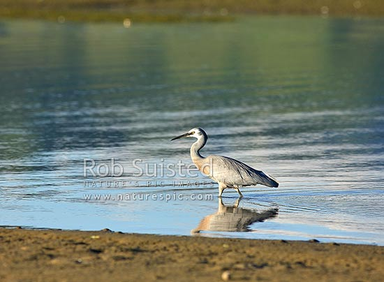 White faced heron bird (Ardea novaehollandiae) wading in inlet, Pauatahanui Inlet, New Zealand (NZ) stock photo.