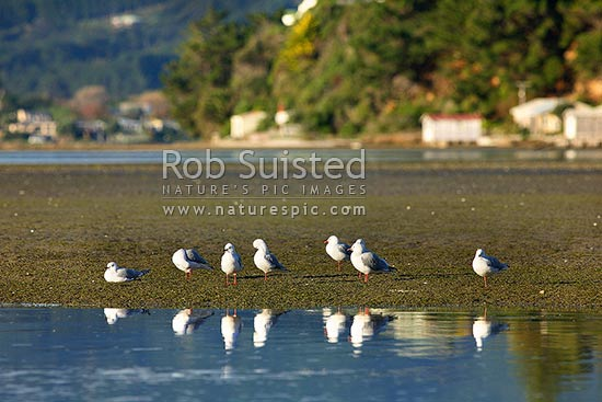 Red billed gulls on tidal flats in Pauatahanui Inlet (Larus novaehollandiae scopulinus), Pauatahanui Inlet, New Zealand (NZ) stock photo.