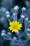 native Groundsel