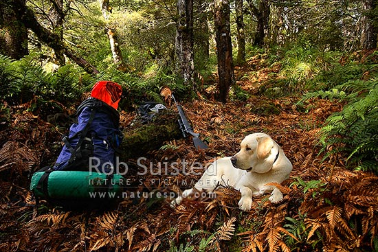 Deer hunter's dog with pack and rifle on tramping track in sunny ferny forest, Ruahine Forest Park, Rangitikei District, New Zealand (NZ) stock photo.