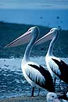 Two pelicans at the waters edge