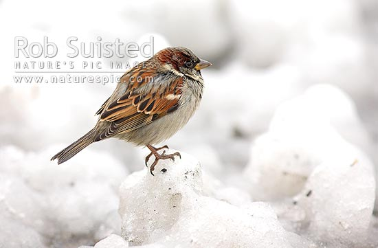 Male common House sparrow in winter snow (passer domesticus), cold and lonely, New Zealand (NZ) stock photo.