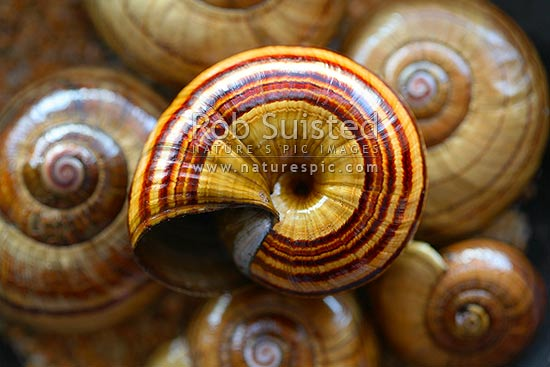 Native giant carnivorous land snail shells from Mount (Mt) Richmond - (Powelliphanta sp.). Closeup pattern texture, New Zealand (NZ).