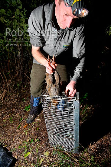 (DOC) Department of Conservation Ranger removing a Weka bird from cage trap at night (Gallirallus a. australis), Long Island, Picton, Marlborough District, Marlborough Region, New Zealand (NZ) stock photo.