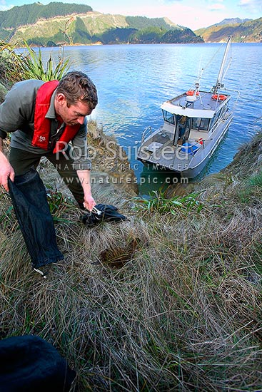 (DOC) Department of Conservation Ranger releasing a translocated Weka bird (Gallirallus a. australis) onto Blumine Island (Oruawairua), Marlborough Sounds, Marlborough District, Marlborough Region, New Zealand (NZ) stock photo.