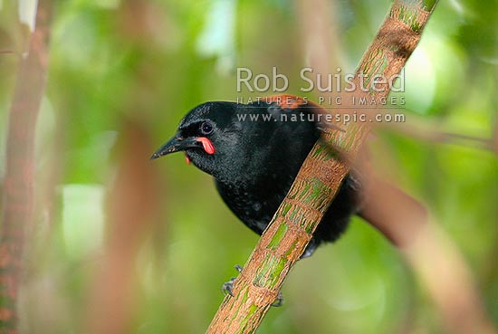 Adult South Island Saddleback bird (Philesturnus c. carunculatus), Long Island, Picton, New Zealand (NZ) stock photo.