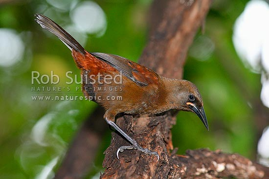 Juvenile South Island Saddleback bird (Philesturnus c. carunculatus), Long Island, Picton, New Zealand (NZ) stock photo.