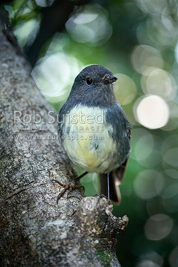 South Island Robin (Petroica a. australis) bird, Long Island, Picton, New Zealand (NZ) stock photo.