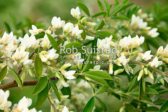 Flowering tree lucerne or tagasaste chamaecytisus for Tall flowering shrubs