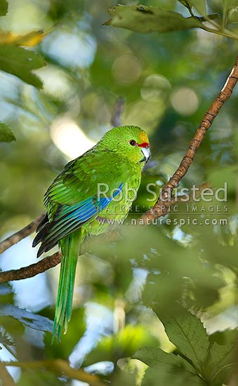 Yellow-crowned Parakeet (Kakariki), Cyanoramphus auriceps. Bird sitting on branch, Long Island, Picton, Marlborough District, Marlborough Region, New Zealand (NZ) stock photo.