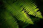 NZ Native tree fern fronds leaves