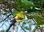 Native bellbird on branch